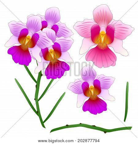 Vanda Miss Joaquim Orchid. Singapore National Flower. isolated on White Background. Vector Illustration.