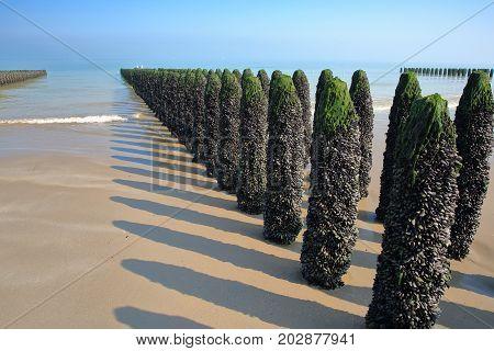 Mussels cultivated on poles (bouchots) on the beach near Cap Gris Nez, Cote d'Opale, Pas de Calais, Hauts de France, France