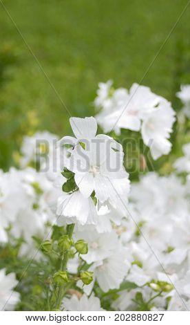 Green vertical background with white garden flowers