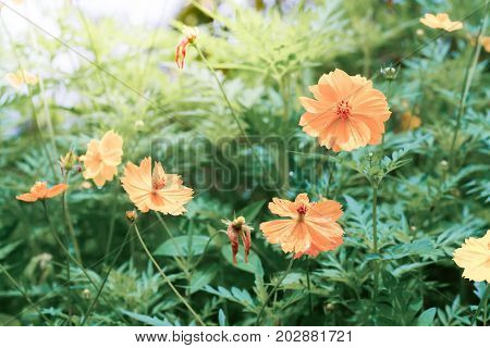 Yellow Cosmos flowers with sunlight in the morning. Cosmos is also known as Cosmos sulphureus. (Vintage tone)