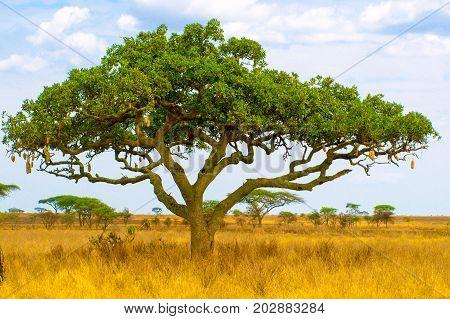 Kigelia, aka sausage tree, in dry savanna landscape, Serengeti National Park, Tanzania, Africa