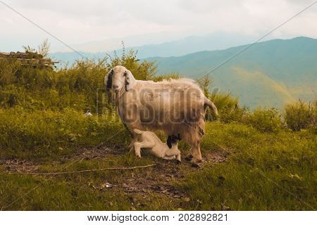 She-goat and its baby goat in a hill in Kathmandu Nepal