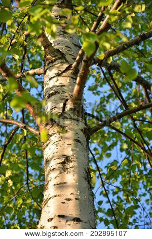 Birch tree trunk in sun light, spring