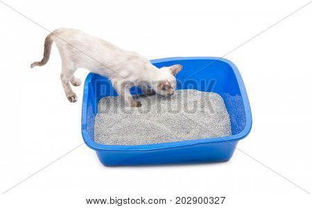 Young Siamese cat sniffing a litter box, on white