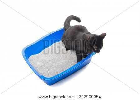 Black cat urinating in a blue litter box, on white background