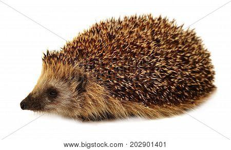Hedgehog isolated on white background. European hedgehog.