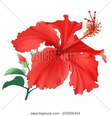 Hibiscus. Hand drawn vector illustration of a large, red tropical flower on transparent background.