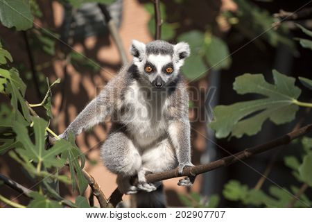 Ring-tailed lemur sittin on a branch and  looking at the camera