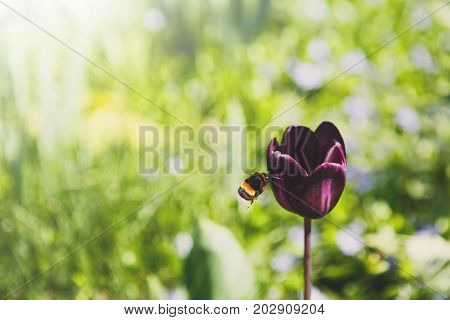 Blossom tulip, floral background, gardening. Honey bee collecting nectar from pollen of purple blooming flower, close-up, shallow depth of field