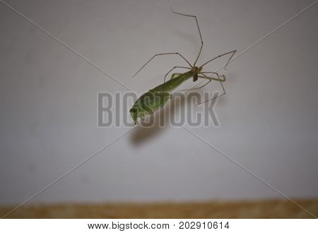 Grasshopper caught by a spider in its spider web