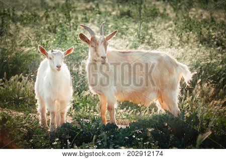 Mother and kid goats in pasture. Domestic goats outdoor. Free range farm.