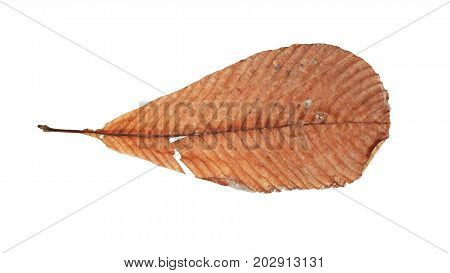 Dry Brown Leaf Isolated On White