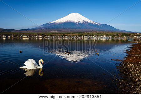 Swan At Yamanaka Lake And Mt. Fuji