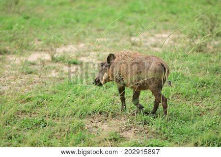 Warthog, Uganda, Africa