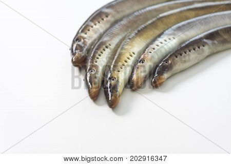 River lamprey - isolated on a white background