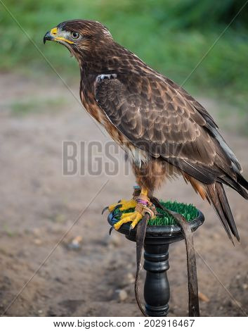 young wild buzzard concentrates on his seat