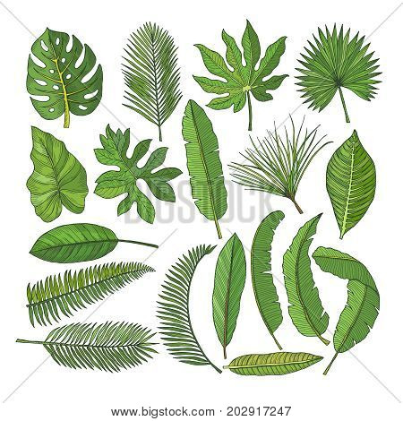 Colored pictures set of tropical leaves. Vector illustrations isolated on white. Palm of leaf floral, green leaf palm