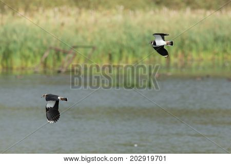 Lapwings flying over a Northumberland Lake in England