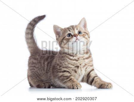 Beautiful scottish cat kitten profile side view isolated