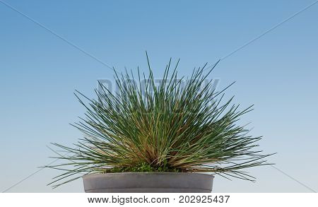 Low point of view of grass bundle tussock growing in flowerpot over blue sky background