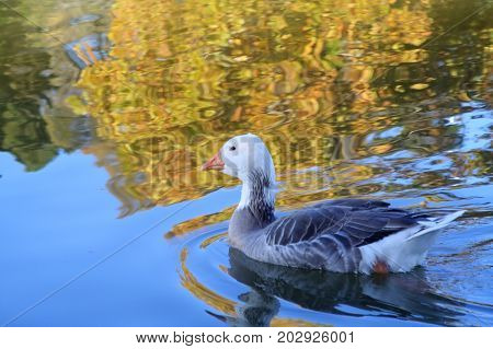 A color saturated image of a duck swimming on water.