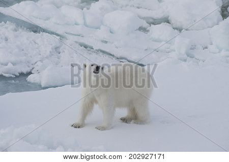 Polar bear walking on the ice in arctic landscape sniffing around.