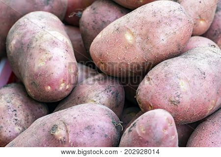 Freshly picked potatoes. Potatoes are reddish. Also on the potato you can see grains of earth