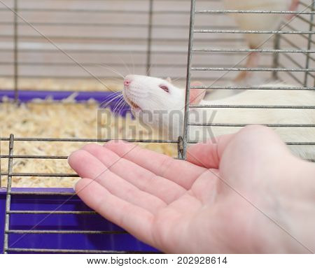 White laboratory rat looking out of a cage and a human hand (selective focus on the rat nose and human fingers)