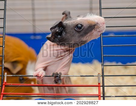Curious skinny guinea pig baby with big ears looking out of a cage and chewing on the bars of the cage