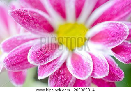 Macro shot of blurred out-of-focus petals of beautiful chrysanthemum flowers covered with morning dew (very shallow DOF selective focus)