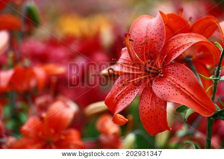 A considerable quantity of the Asian lilies create a motley background for a bright red lily.