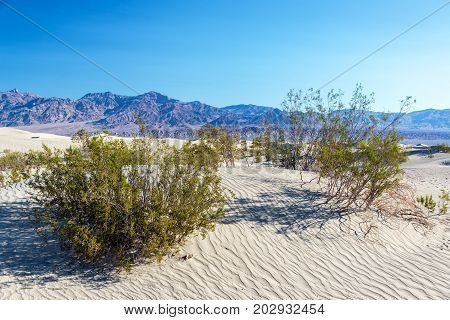 Shrubs growing in the Mesquite Flat Sand Dunes in Death Valley in California