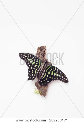Green Butterfly On The Bark Of A Tree On White