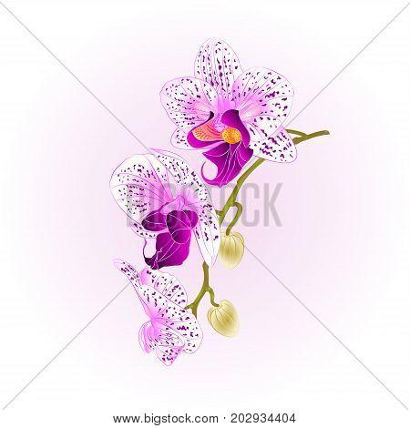 Purple and white orchid stem Phalaenopsis beautiful flower vintage vector closeup illustration editable hand draw