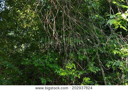 Thick thickets of impenetrable forest. Hanging roots on trees