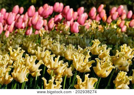 Blooming yellow tulips flowerbed in Keukenhof flower garden, also known as the Garden of Europe, one of the world largest flower gardens and popular tourist attraction. Lisse, the Netherlands.