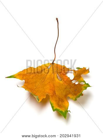 Autumn Dried Multicolored Maple Leaf With Holes