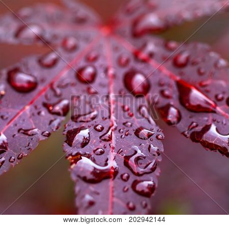 Leaves of red Japanese maple (fullmoon maple) with water drops after rain. Macro view.