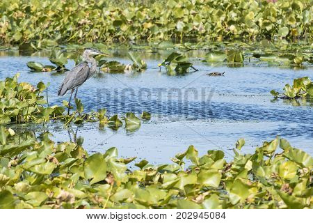 Great Heron Hunting in a Marsh Area