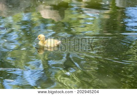 Muscovy Duckling Swimming Happily in a Pond