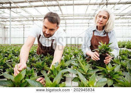 Concentrated workers, mature woman and smiling man, looking and touching plants in greenhouse