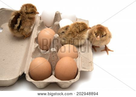 Cute nestlings sitting together in container with chicken eggs isolated on white.