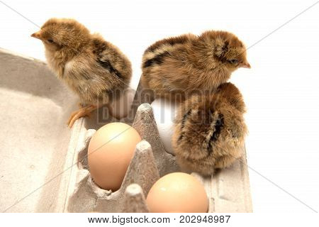Three small nestlings and chicken eggs in rack isolated on white.
