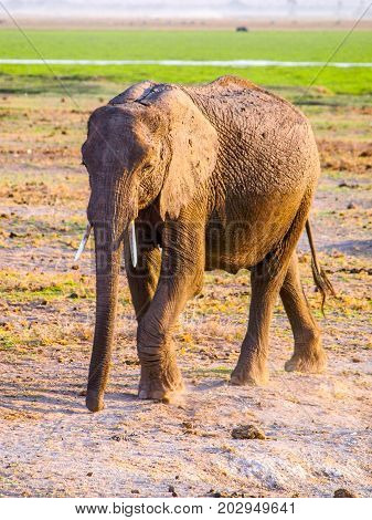 African Elephant in natural habitat, Tsavo National Park, Kenya, Africa