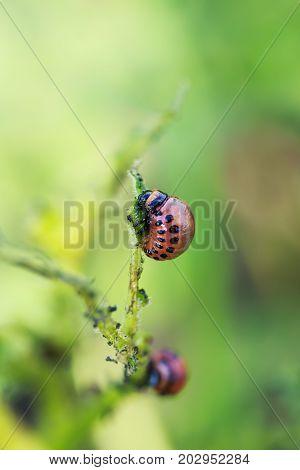 fatty red larva Colorado potato beetle sits and eats potato leaves