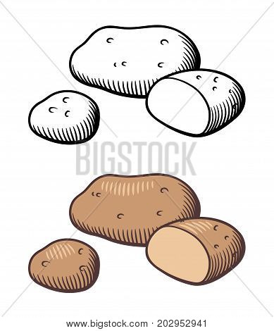 Vector hand drawn illustration of potatoes. Potato tuber and cross section. Outline and colored version