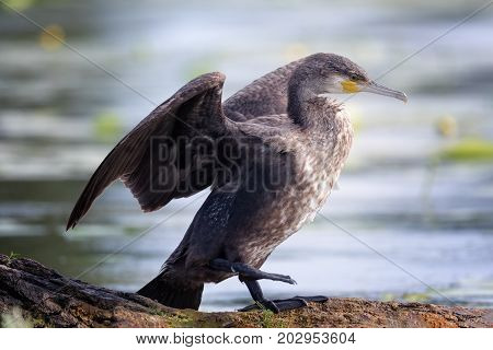 The great cormorant (Phalacrocorax carbo) known as the great black cormorant across the Northern Hemisphere the black cormorant in Australia the large cormorant in India and the black shag further south in New Zealand