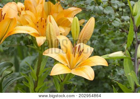 Orange Red Lilies Flowers on green grass