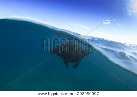 Manta Ray half and half split photo