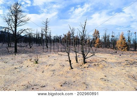 Charcoaled landscape including burnt trees caused from a wildfire taken in a rural field surrounded by ash